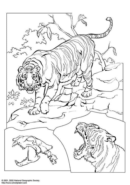 Dibujo Para Colorear Tigre Img 3078