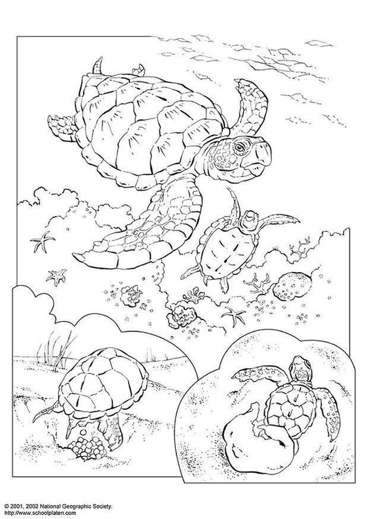 Dibujo para colorear Tortuga marina - Img 3083
