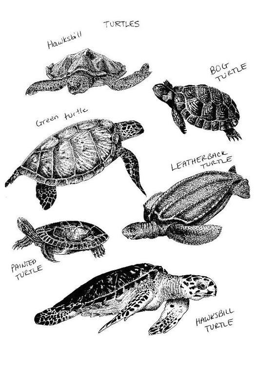 Tekeningen Kleurplaten Dieren Dibujo Para Colorear Tortugas Img 8560