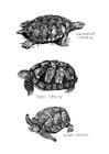 Dibujo para colorear Tortugas