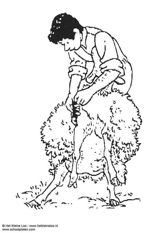 Dibujo para colorear Trasquilar ovejas - Img 3742