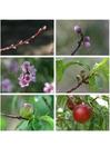 Foto 7. resumen del desarrollo de la nectarina