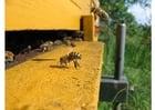 Foto Abeja melífera en colmena