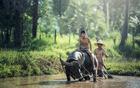 Foto búfalo - agricultura