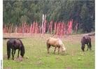Foto Caballos con banderas de oración