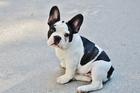 Foto cachorro - bulldog francés