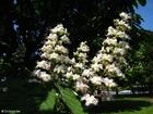 Foto Castaño en flor 2