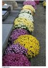 Foto Cementerio - crisantemos