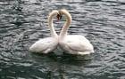 Foto cisnes