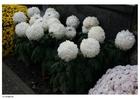 Foto Crisantemos - cementerio
