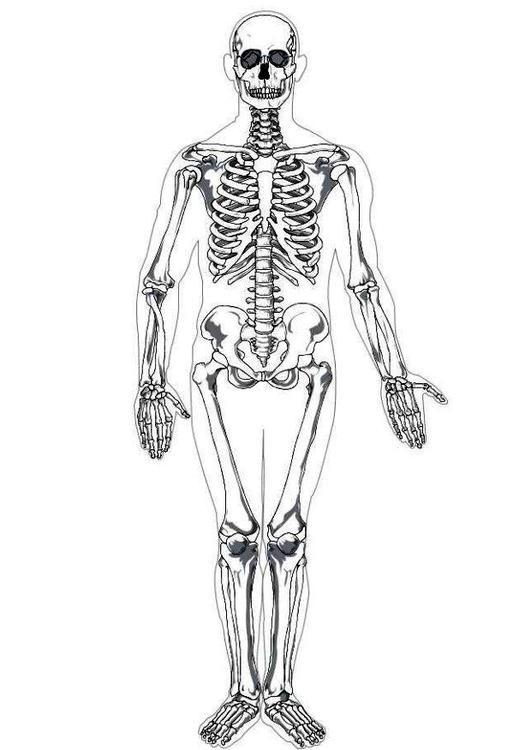 partes del esqueleto humano