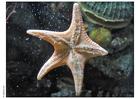 Foto Estrella de mar
