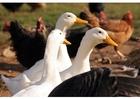 Foto Gansos y gallinas