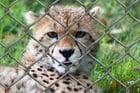 Foto guepardo en jaula