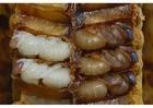 Foto Larvas de abeja