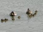 Foto Patos con polluelos