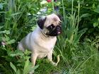 Foto perro - perro carlino