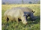 Foto Rinoceronte