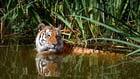 Foto tigre en agua