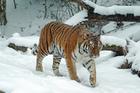 Foto tigre en nieve