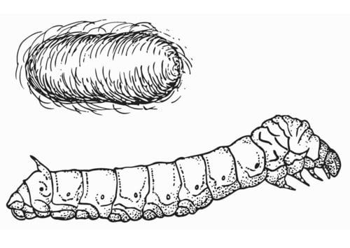 Dibujo para colorear Gusano de seda con capullo