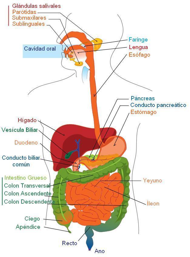 Imagen Aparato digestivo, español - Img 7895