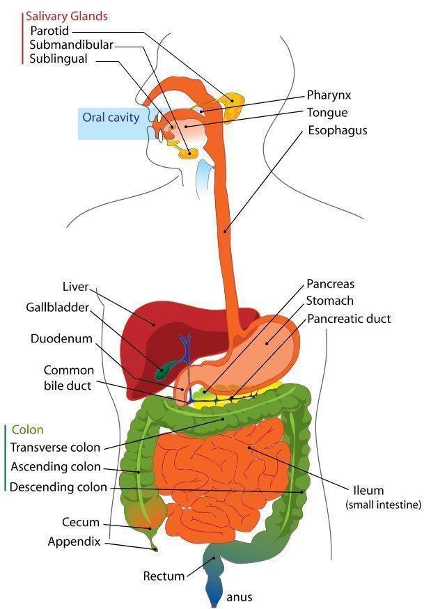 Diagrama Del Aparato Digestivo En Ingles - Trusted Wiring Diagram •
