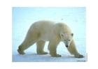 Foto Oso polar