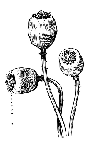 Dibujo para colorear Semillas en capullo